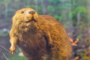 beaver-on-dam